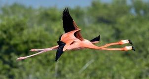 Flying Caribbean flamingos (Phoenicopterus ruber) Royalty Free Stock Image