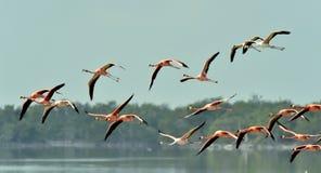 Flying Caribbean flamingos (Phoenicopterus ruber) Stock Photos