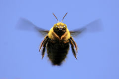 Flying carpenter/ bumble bee Royalty Free Stock Image