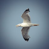 Flying caspian gull Stock Photos