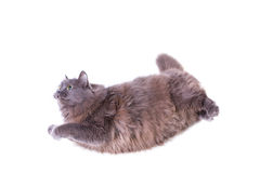 Flying cat Stock Images