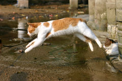 Flying cat. Cat jumping freeze in the air Royalty Free Stock Photo