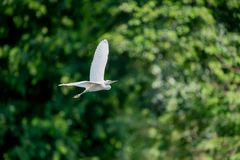 Flying Cattle egret Royalty Free Stock Images