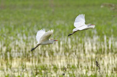 Flying cattle egrets. (bubulcus ibis Royalty Free Stock Photo
