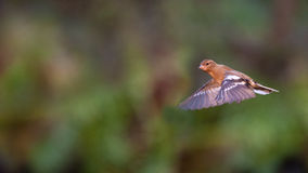 Flying Chaffinch Stock Photos