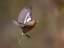 Flying Chaffinch Royalty Free Stock Photos