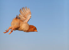 Flying chicken stock photos