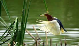 Flying Chinese Pond-Heron Royalty Free Stock Photo