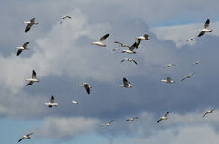 Flying In The Clouds With The Snow Geese Stock Photo
