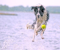 Flying collie Royalty Free Stock Image