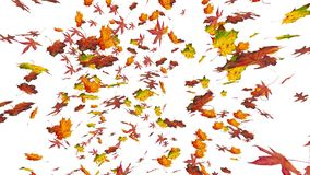 Flying colorful oak, sweet gum and maple leaves. Autumn, fall background. Isolated elements on white background. Slow motion, clos stock video