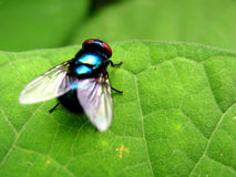 Flying Colors. A blue housefly on a green leaf Stock Photography