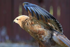Flying common buzzard Stock Photos
