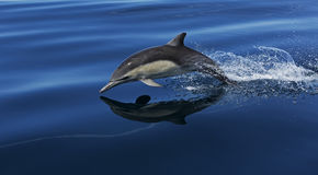 A flying common dolphin Stock Photo