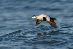 Flying Common Eider - Somateria mollissima is a large sea-duck that is distributed over the northern coasts of Europe, North. Common Eider - Somateria mollissima stock photo