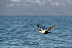 Flying Common Eider - Somateria mollissima is a large sea-duck that is distributed over the northern coasts of Europe, North. Common Eider - Somateria mollissima royalty free stock photos