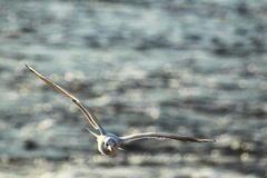 Flying common gull Stock Photography