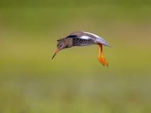 Flying Common redshank Eurasian wader preparing to land Stock Photography