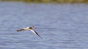 Flying Common Redshank on Lake. Common redshank Tringa totanus is flying over the lake looking for somewhere to land Royalty Free Stock Photo