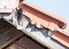 Flying common Starling feeding babies Royalty Free Stock Photography