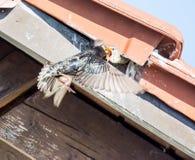 Flying common Starling feeding babies Stock Photo