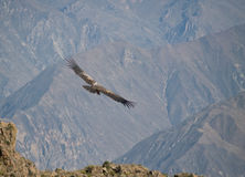Flying condor in the Colca canyon Royalty Free Stock Photos