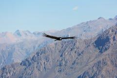 Condor. Flying condor in the Colca canyon, Peru royalty free stock image