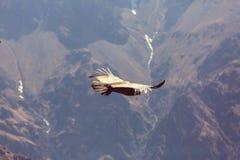 Condor Royalty Free Stock Image