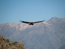 Flying Condor In The Colca Canyon Stock Images