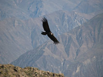Flying Condor In The Colca Canyon Stock Image