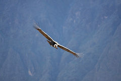 Flying condor over Colca canyon in Peru, South America. Royalty Free Stock Photos