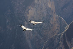 Flying condor over Colca canyon in Peru, South America. Stock Images