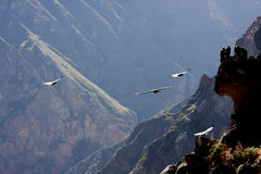 Flying condor over Colca canyon in Peru, South America. Stock Photo