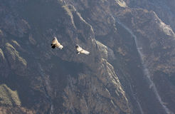 Flying condor over Colca canyon in Peru, South America. Royalty Free Stock Photography
