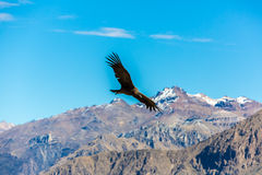 Flying condor over Colca canyon,Peru,South America. This condor the biggest flying bird Royalty Free Stock Photos