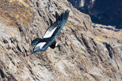 Flying condor over Colca canyon,Peru,South America. This condor the biggest flying bird Royalty Free Stock Images