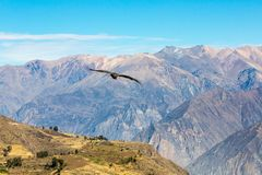 Flying condor over Colca canyon,Peru,South America This is a condor the biggest flying bird Royalty Free Stock Images