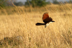 Flying Coppery-tailed Coucal Stock Images