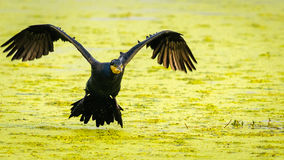 Flying Cormorant Stock Photo