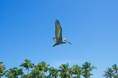 Flying cormorant, palms, blue sky, freedom, Key West, Keys, Cayo Hueso, Monroe County, island, Florida. Key West, Keys, Cayo Hueso, State of Florida, Sunshine royalty free stock photo