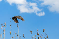 Flying cormorant under the blue sky Royalty Free Stock Image