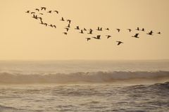 Flying cormorants Royalty Free Stock Photography