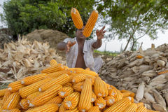Flying Corn. The Corn collector Dinajpur, Bangladesh Stock Images