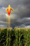 Flying corn in field. Scenic view of ripe corn taking off in air from green corn field under dark clouds Royalty Free Stock Photo