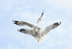 Flying couple common seagull  on sky Royalty Free Stock Images