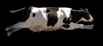 Flying Cow. A flying cow isolated on black royalty free stock photo