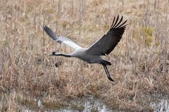 Flying crane Royalty Free Stock Photos