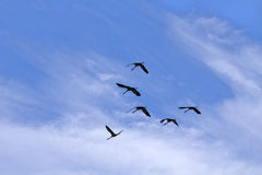 Flying Cranes Royalty Free Stock Photography