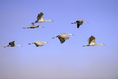 Flying cranes Stock Photo