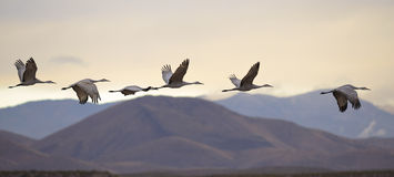 Flying cranes Royalty Free Stock Photos